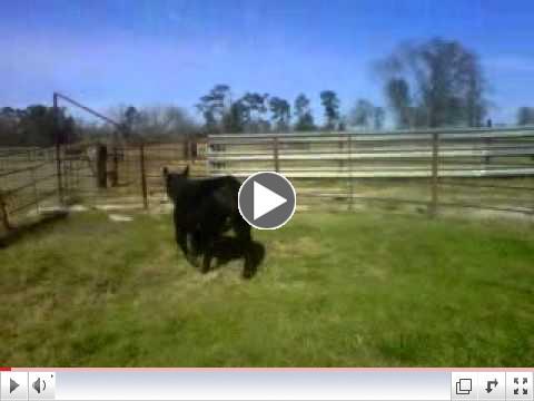 taylor heifer.3GP