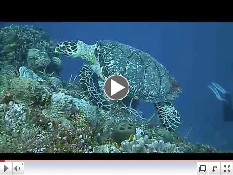 Swimming along with a hawksbill turtle in Cozumel
