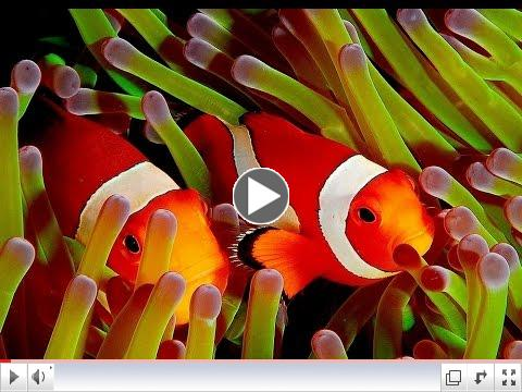 Clown Fish - My animal friends