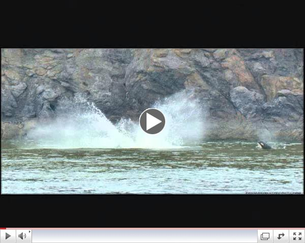 Audio of Superpod of Southern Resident Killer Whales August 11 2013
