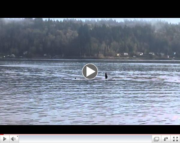 Orca whales off Bachman Park in Manette/Bremerton