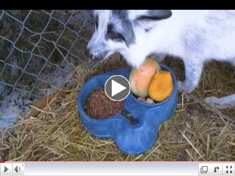 Foxes get Dingo Treats from our Amazon Wish List!