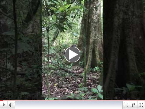 Trekking with Chimps in Kibale National Park, Uganda