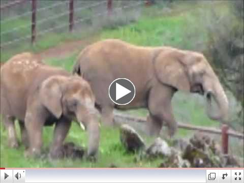 AFRICAN ELEPHANTS: RAINY DAY ON THE MOUNTAIN