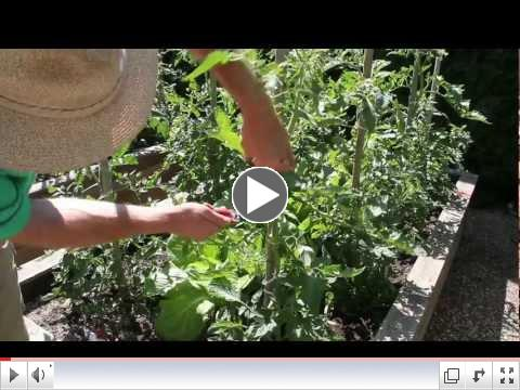 Tomato Plant Pruning