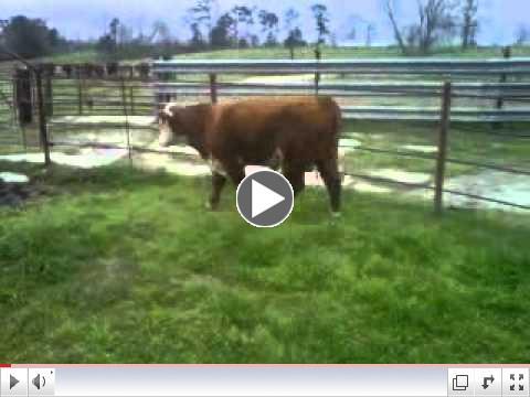 Agribition bull
