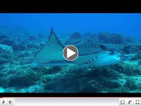 Eagle Ray Tries to Disloge Remora
