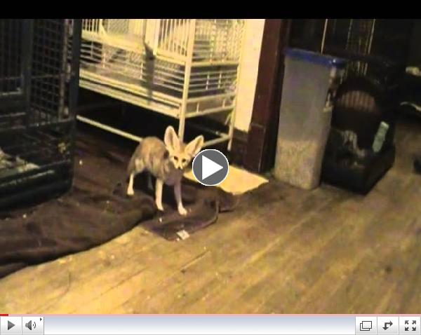 Quiggly & Cairo the fennec foxes hunting for bread