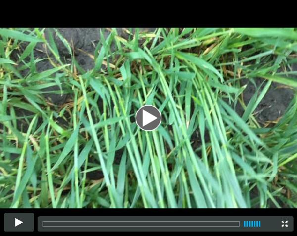 Scouting Wheat for Stripe Rust