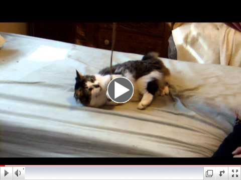 Reilly-American Bobtail cat for adoption