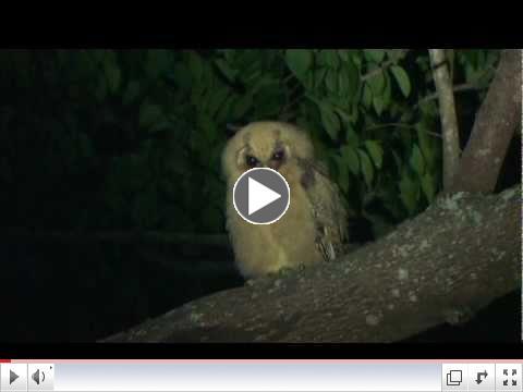 Jamaican Owl, Jamaica
