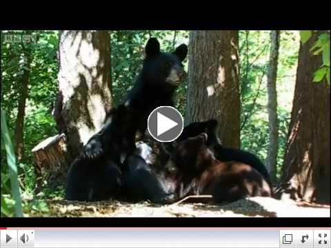 American Black Bear with 8 month old cubs