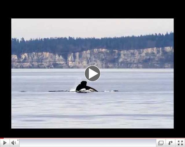 Orcas in Puget Sound Feb. & Mar.  2015 ---  Stills in Motion