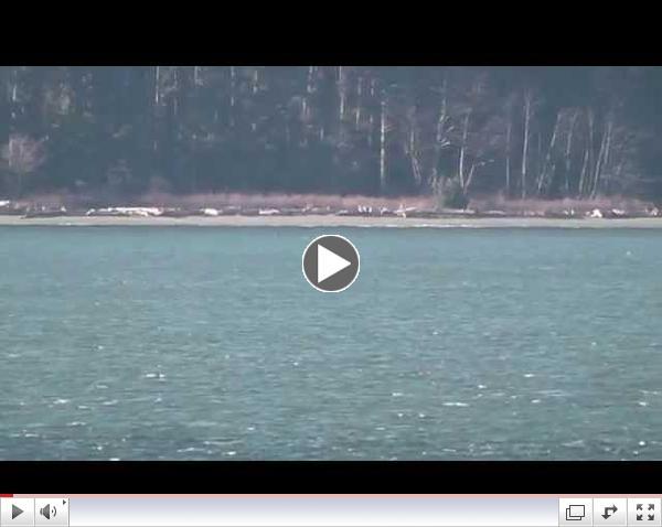 Bigg's (Transient) killer whales T137s- Possession Sound-Dec 24, 2014