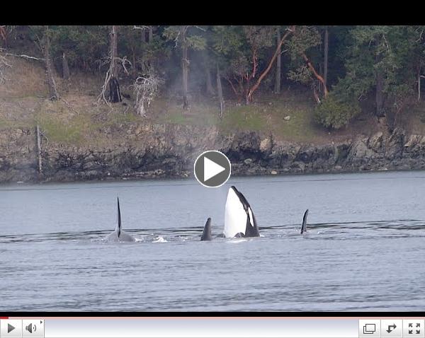 Bigg's Killer Whales - San Juan Channel - 2/10/15