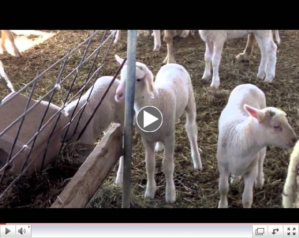 Chateau Fresno Organics Lambs