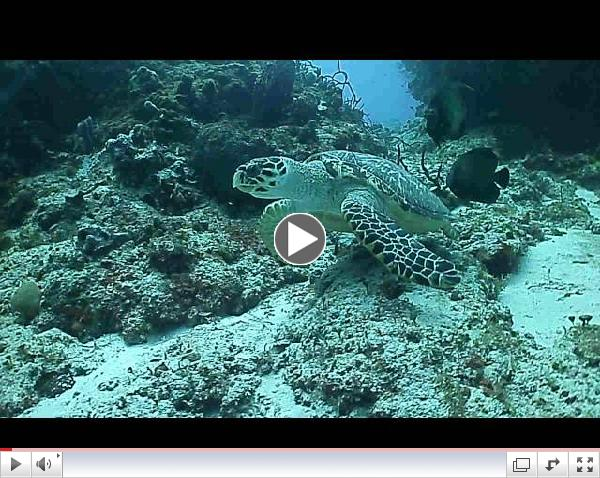 Drift Diving With a Hawksbill Turtle