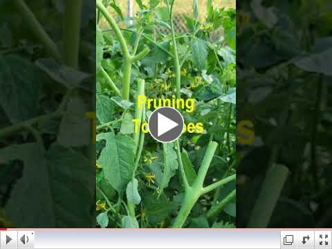 Green Thumb at 60 - Video #4 - Pruning Tomatoe and Pepper Plants