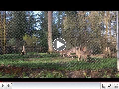 Four red wolves play at Wolf Haven