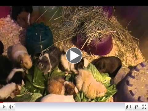 Some of the 29 Rescued girl guinea piggies at Critter Camp nomming