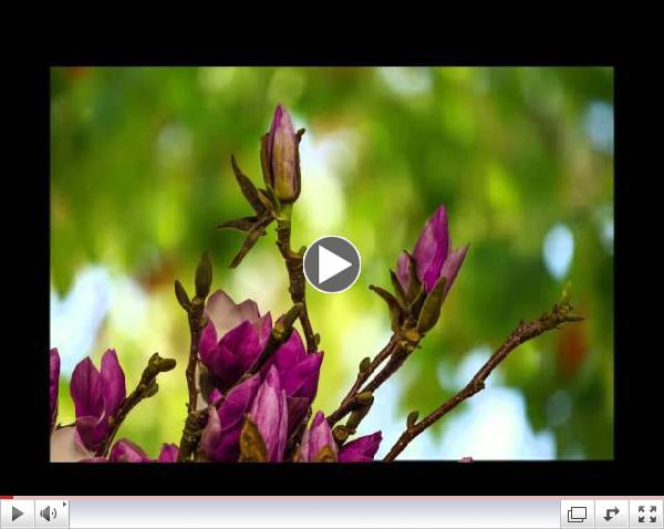 Magnolia Blooms time lapse