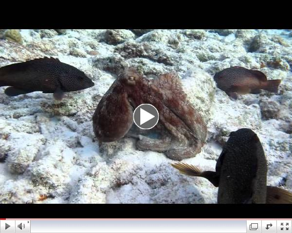 Octopus Hunts with Grouper Posse