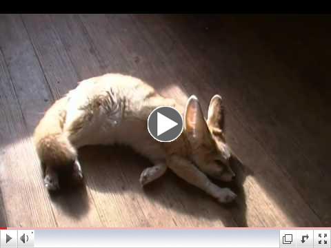 Wiley the solar powered fennec fox