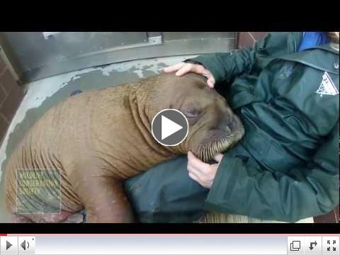 Mitik the Walrus Calf Settles in at New York Aquarium.mov
