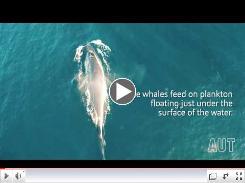 Rare Brydes Whale Feeding