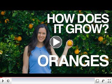 How Does it Grow? Oranges