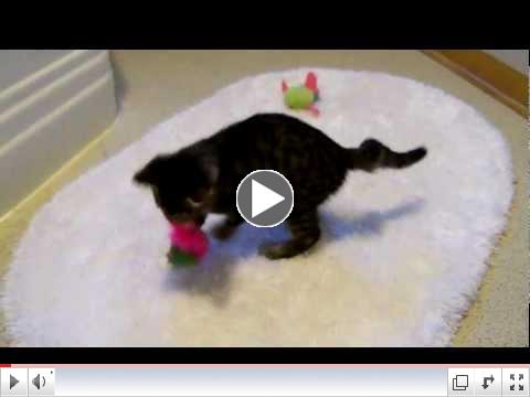 CH Kitten at Safe House Animal Rescue League IL