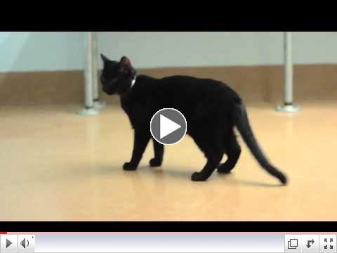 CH Cat Jordan - A303399
