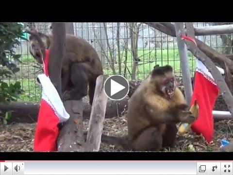 A Merry Monkey Christmas