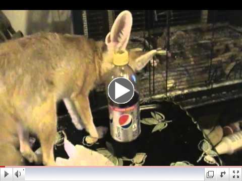 Cute Fennec Fox & Pepsi