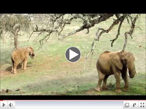 African Elephants: Eating Tree Branches