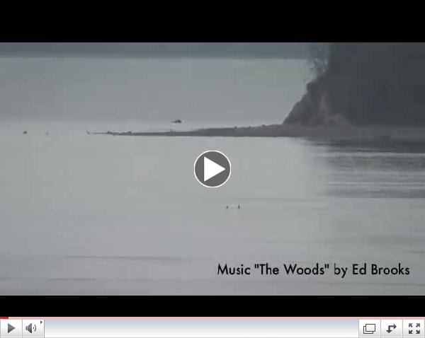 Bigg's (Transient) killer whales-March 22, 2015 Puget Sound