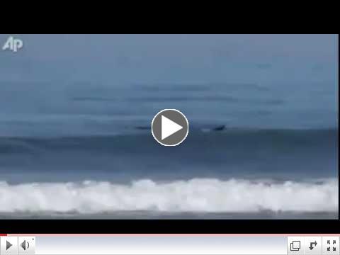 Orca attacks Sharks.                                  AP