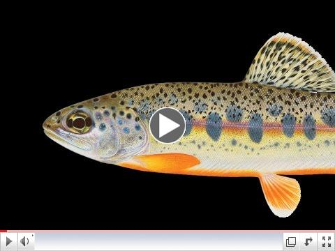 Check out  the work involved in sientific trout art.