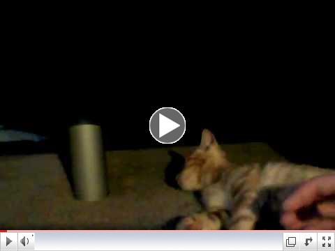 Sweet CH Kitten - Itzy Bitzy! Orange Marmalade Kitten!
