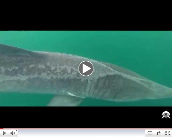 Basking Shark Scotland - Epic Season 2014 HD