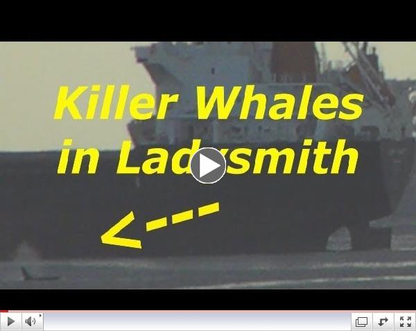 Killer Whales in Ladysmith  Harbor