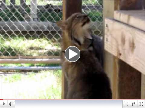 Canadian Lynx: Rufus & Misha