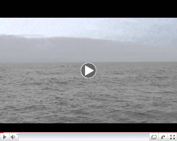 Killer Whales Attack Blue Whales!
