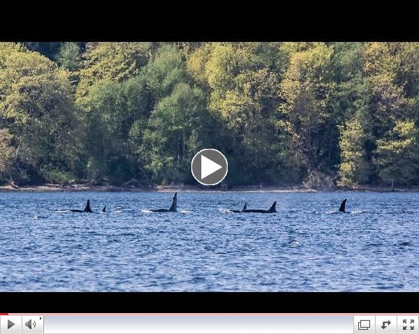 Southern Resident Killer Whales: K Pod in Colvos Passage 4/14/14 (HD)