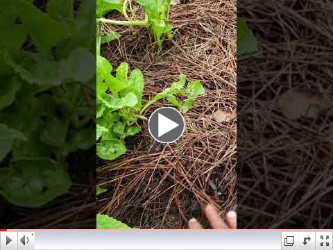 Green Thumb at 60 - Video #18 - Why Use Mulch?
