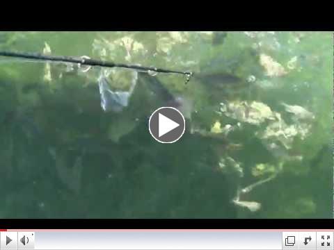 Marathon Florida Keys shark fishing pandemomiun, part 2,  April 12, 2012