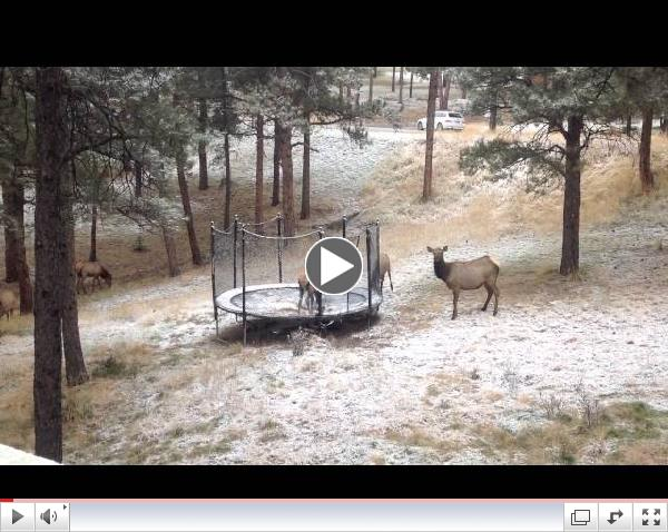 Elk on a Trampoline