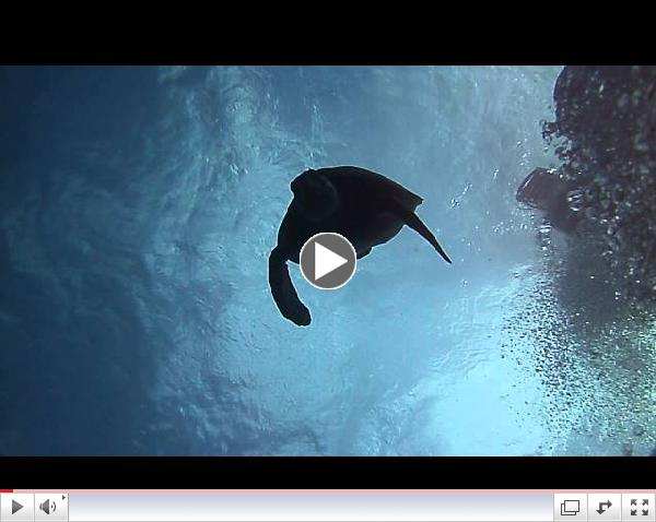 Turtle Diving in Cozumel