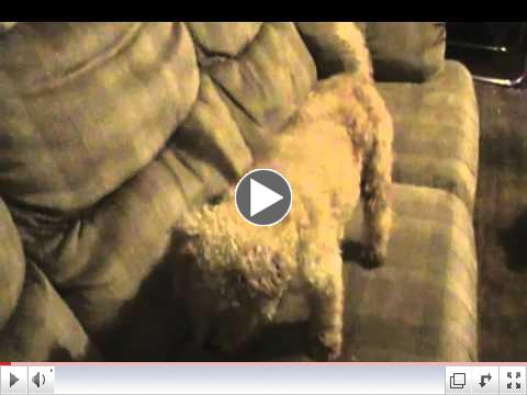 Fennec Foxes & Dogs on the Sofa