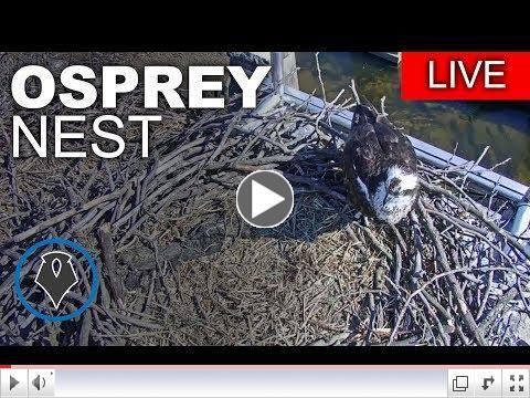 Richmond Osprey Cam